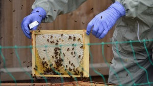 A bee inspector examines a frame from a hive
